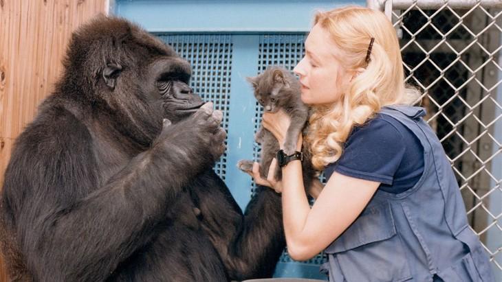 Скончалась знаменитая горилла Коко, освоившая язык жестов - ảnh 1