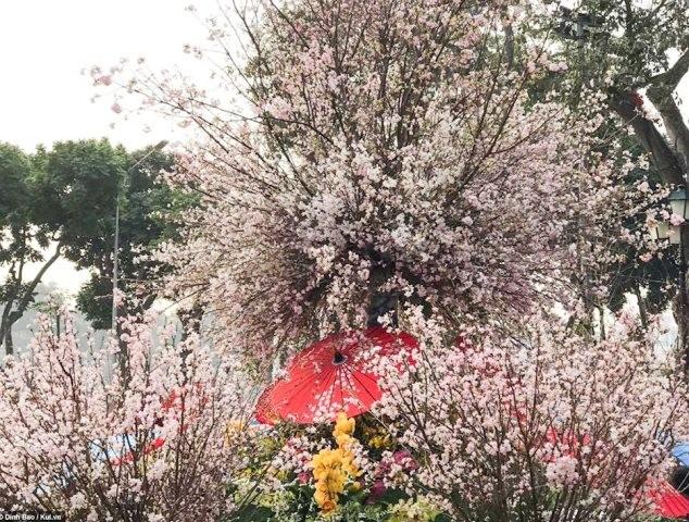 Un festival des cerisiers japonais bientôt à Hanoi - ảnh 1