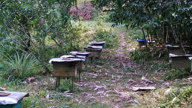 Người nuôi ong dưới tán rừng - ảnh 2